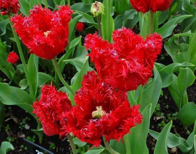 Тюльпан барбадос фото