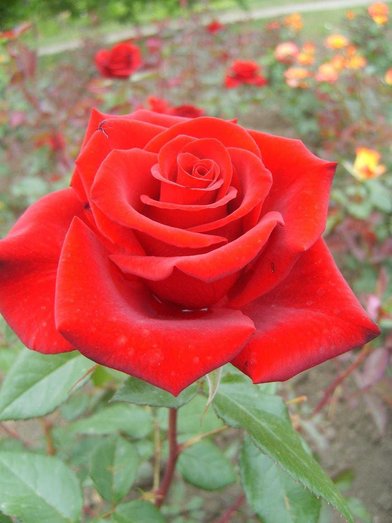 Чайно гибридные розы фото и названия