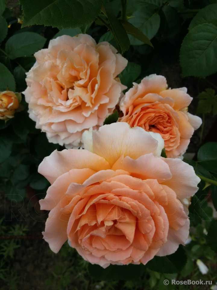 Роза полька описание и фото