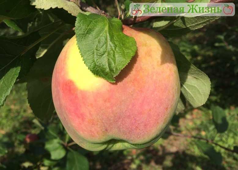 ним дарю брянское алое яблоня описание фото исполнится все то