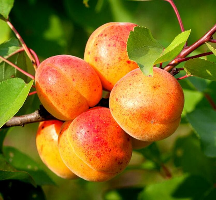скрывают картинки сорта абрикоса когда было