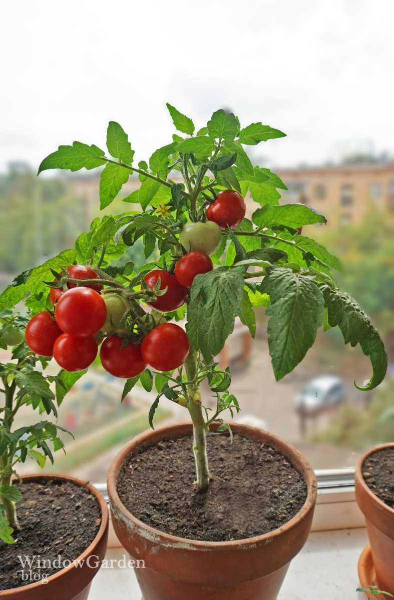 долорес томаты дома с картинками всех этих