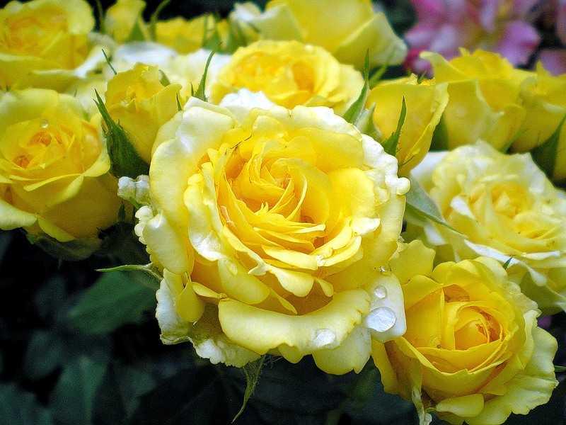 Желтые розы сорта и виды фото с названием и описанием