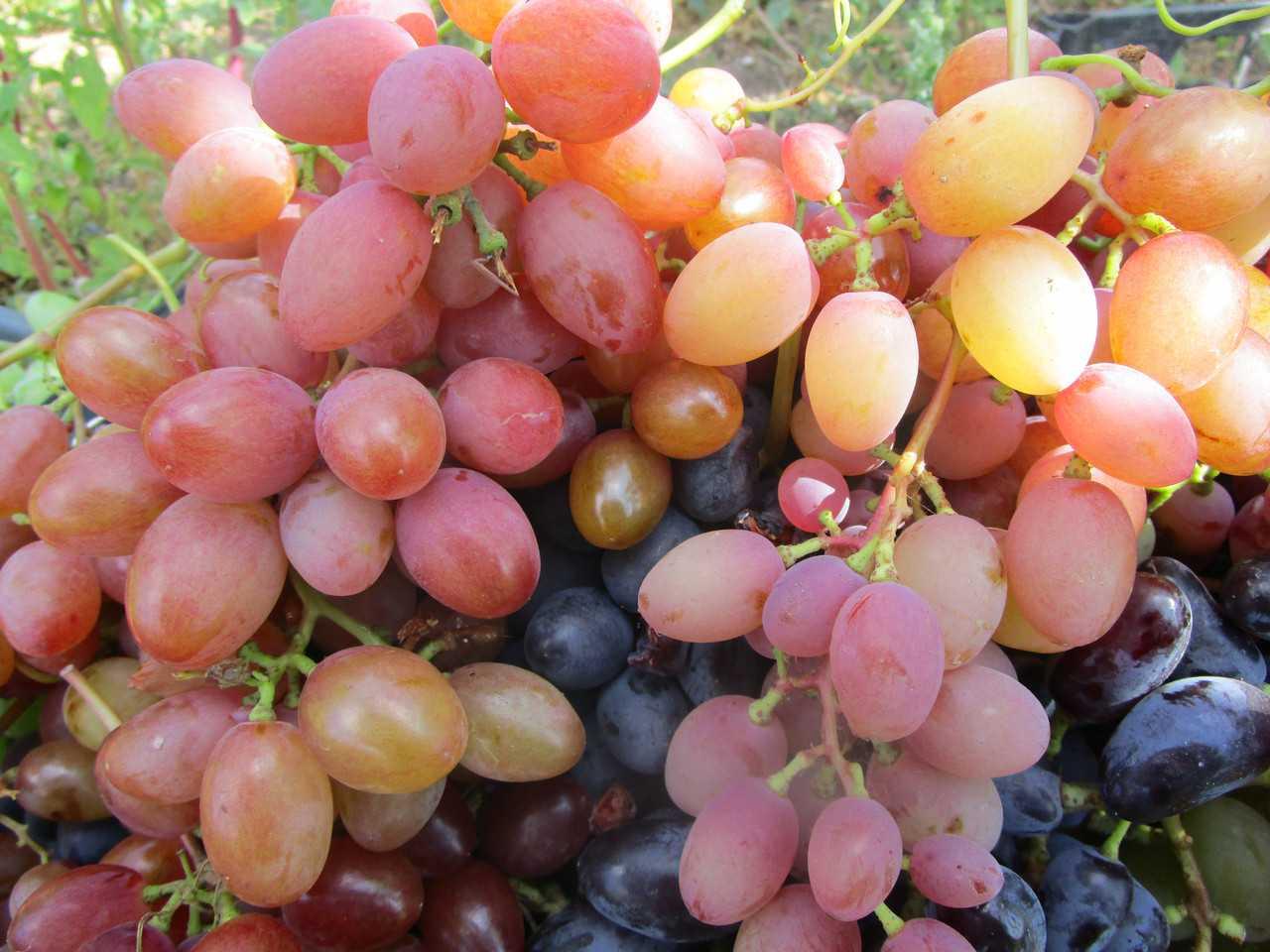 Все сорта винограда с фото и описанием