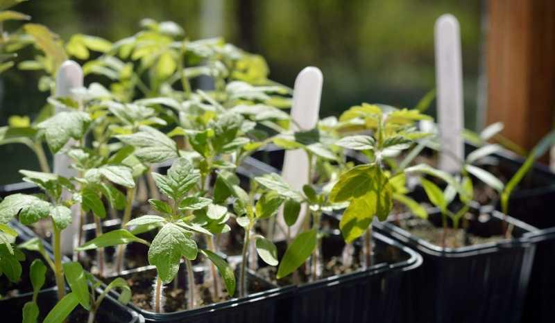 Какими способами можно вырастить рассаду помидоров