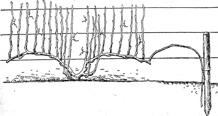 Размножение винограда отводками картинки