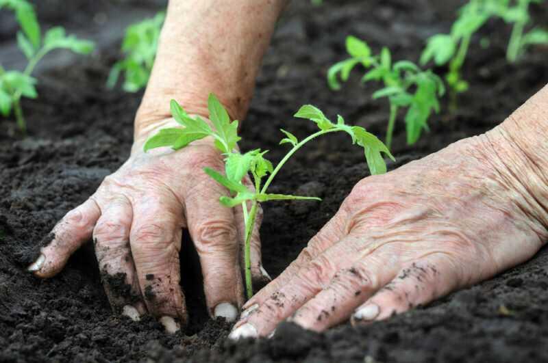 Восточная технология выращивания томатов