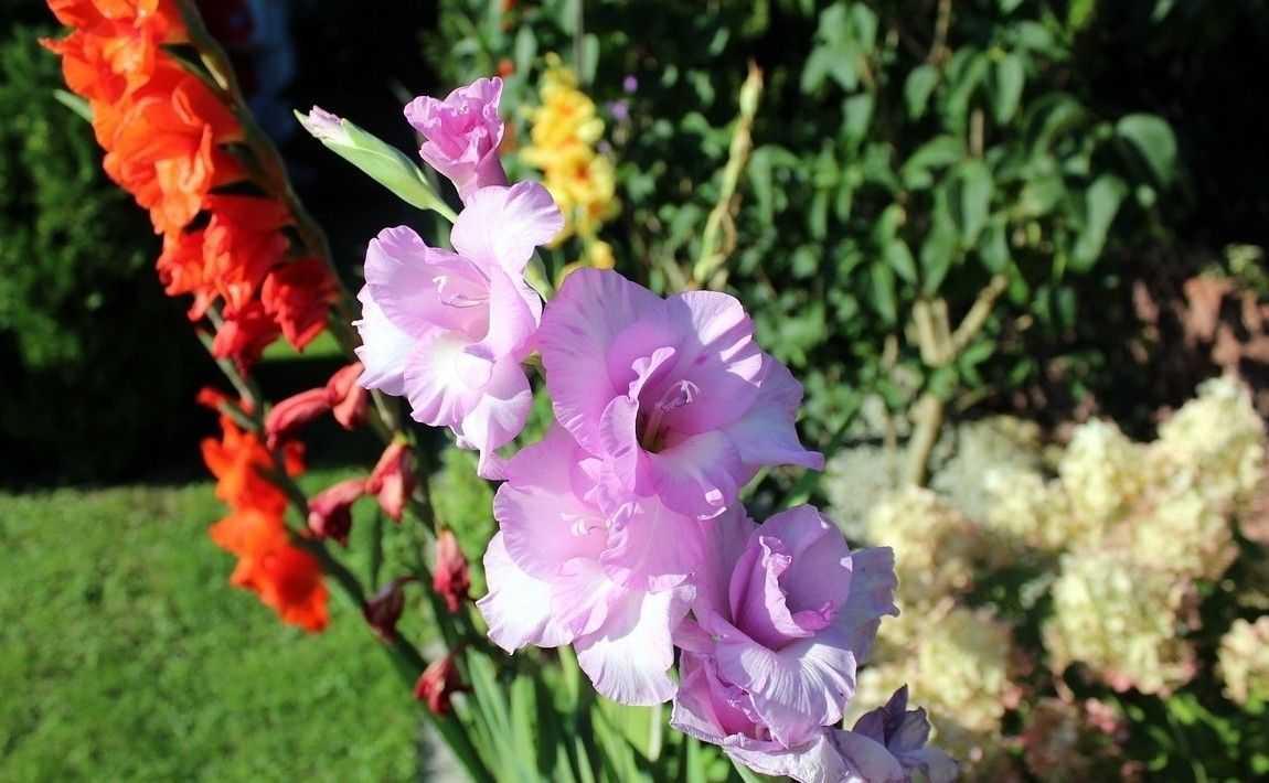 все цветы садовые гладиолусы картинки информация компании