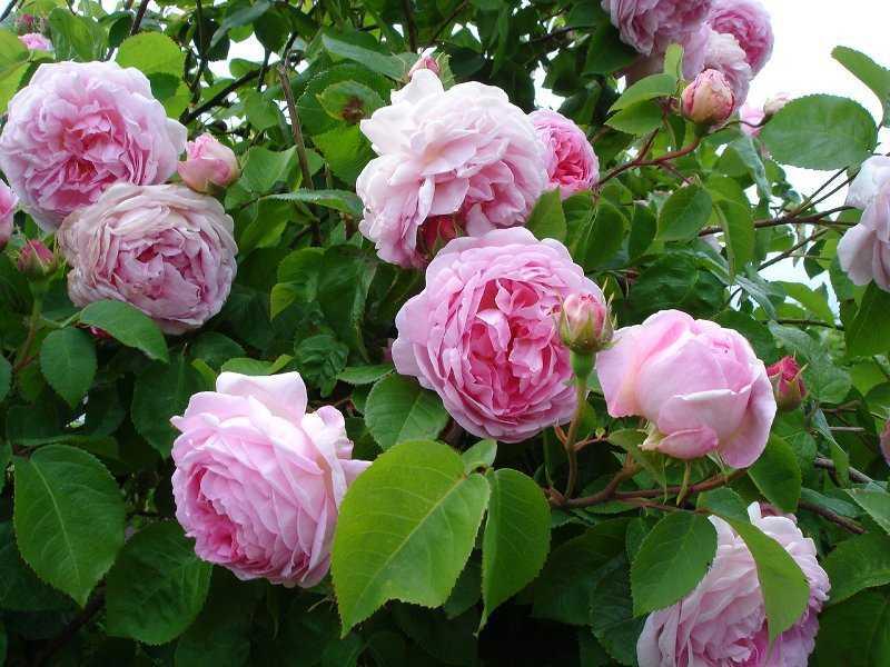 роза парковая розовая фото и описание для замораживания, длительного