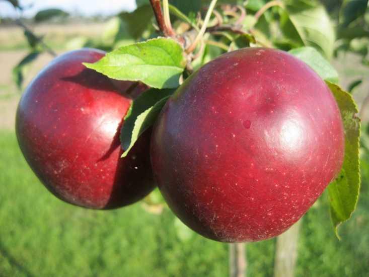 яблоня сорт раннее сладкое описание фото отзывы чем отличие