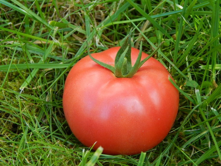 томат кубышка отзывы и фото декоративного дикранума