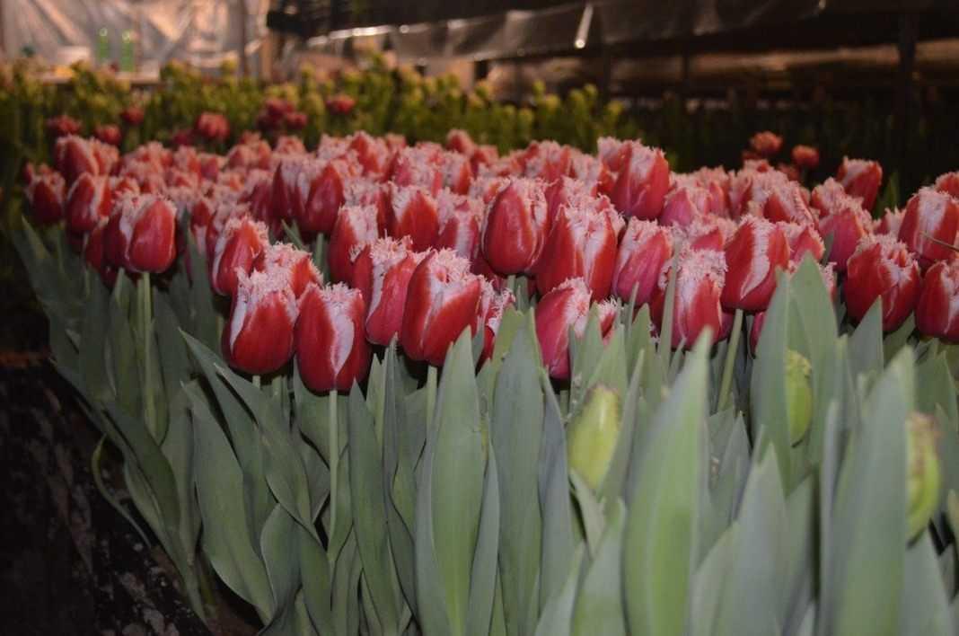 Сорта тюльпанов фото и названия с описанием