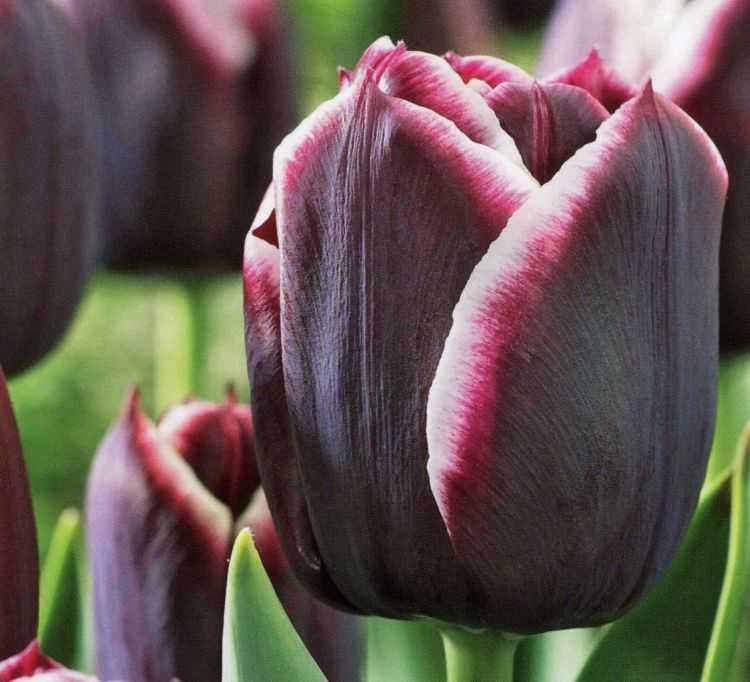 сорта тюльпанов фото и названия с описанием можно