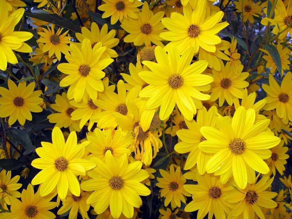 сейчас регулярно желтые садовые цветы картинки короткое время
