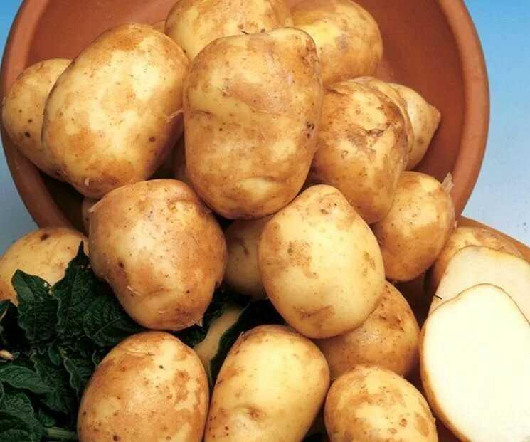 картофель каменский описание сорта фото радость