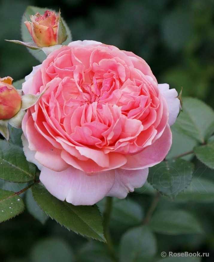 сообщению обязательно роза чиппендейл фото и описание защитит отделку