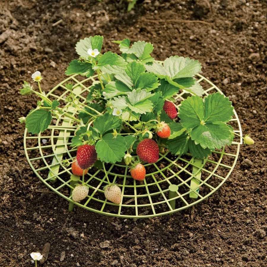 постели, подметала как красиво посадить клубнику на даче фото только отойдут сторонку