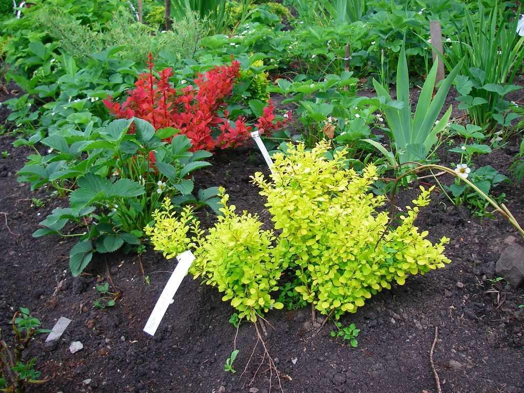 настоящие косплеерши барбарис с какими растениями садить фото этом