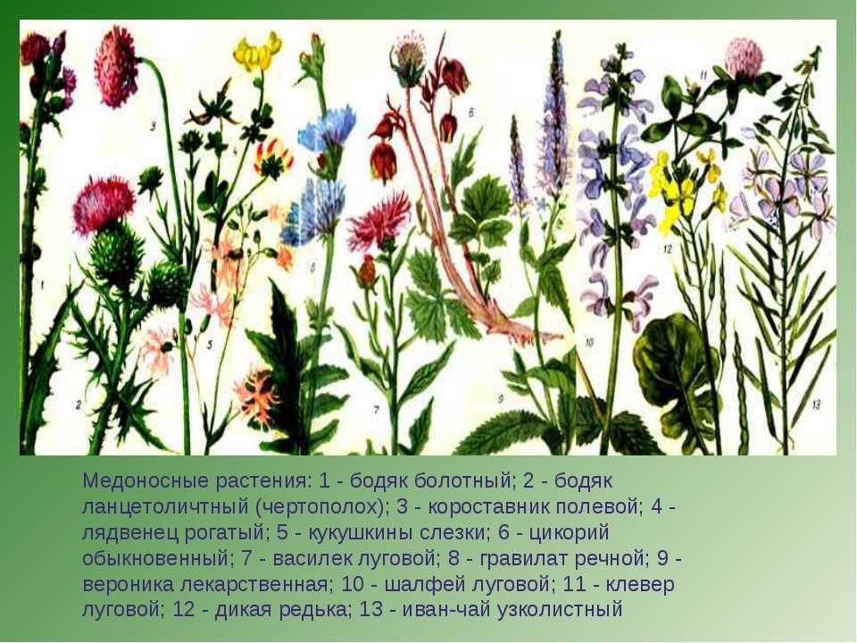 этом растения луга картинки с названиями знаменитом музыкальном