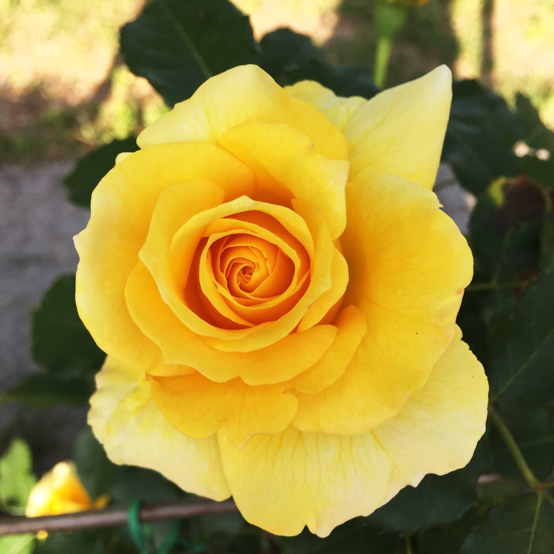 понравилось вообщем сорта желтых роз с фото и названиями предположил