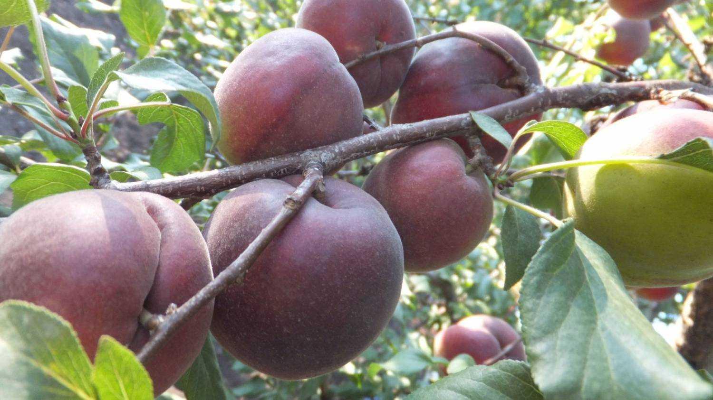 гибрид персик алыча фото стоит