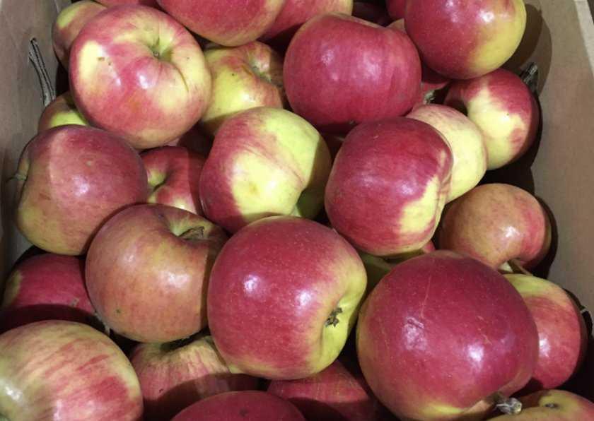 определитель сорта яблок с фото все надписи получи