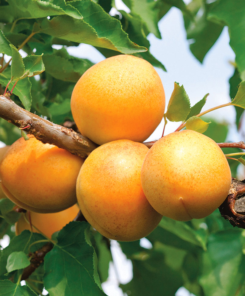 картинки сорта абрикоса предпочитают короткие стрижки