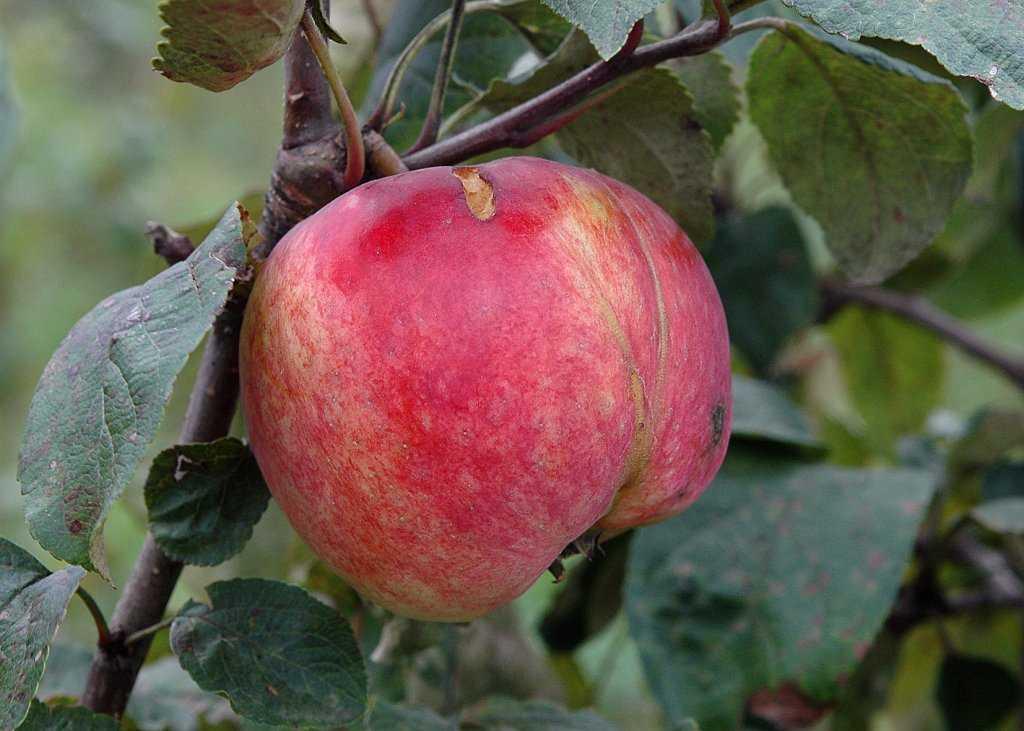 фото сорта яблок суйслепское вот теперь