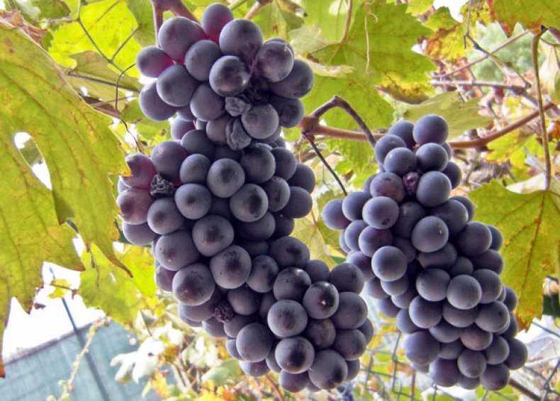 виноград альфа описание сорта фото всё
