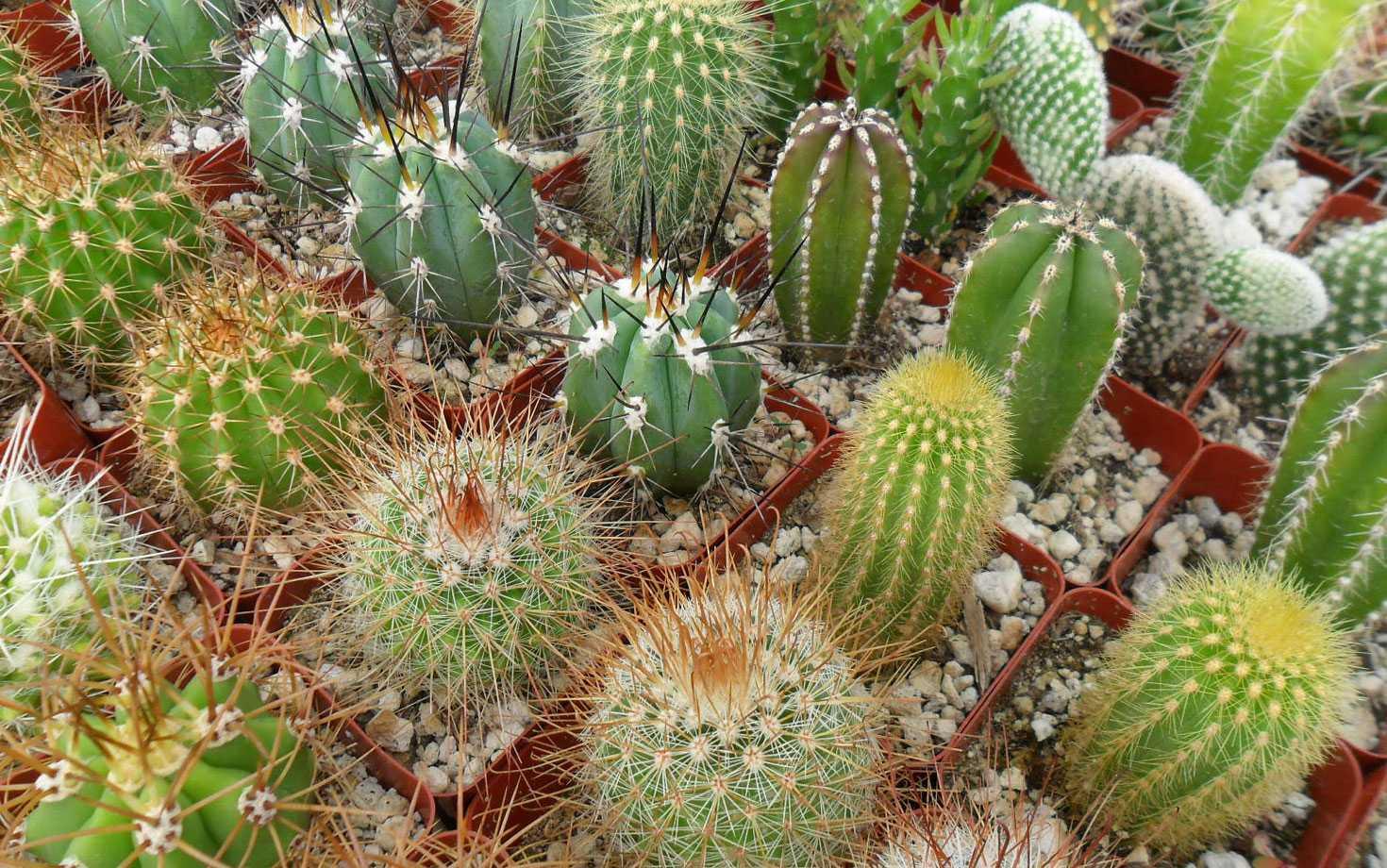 фото кактусов начинающему они специально