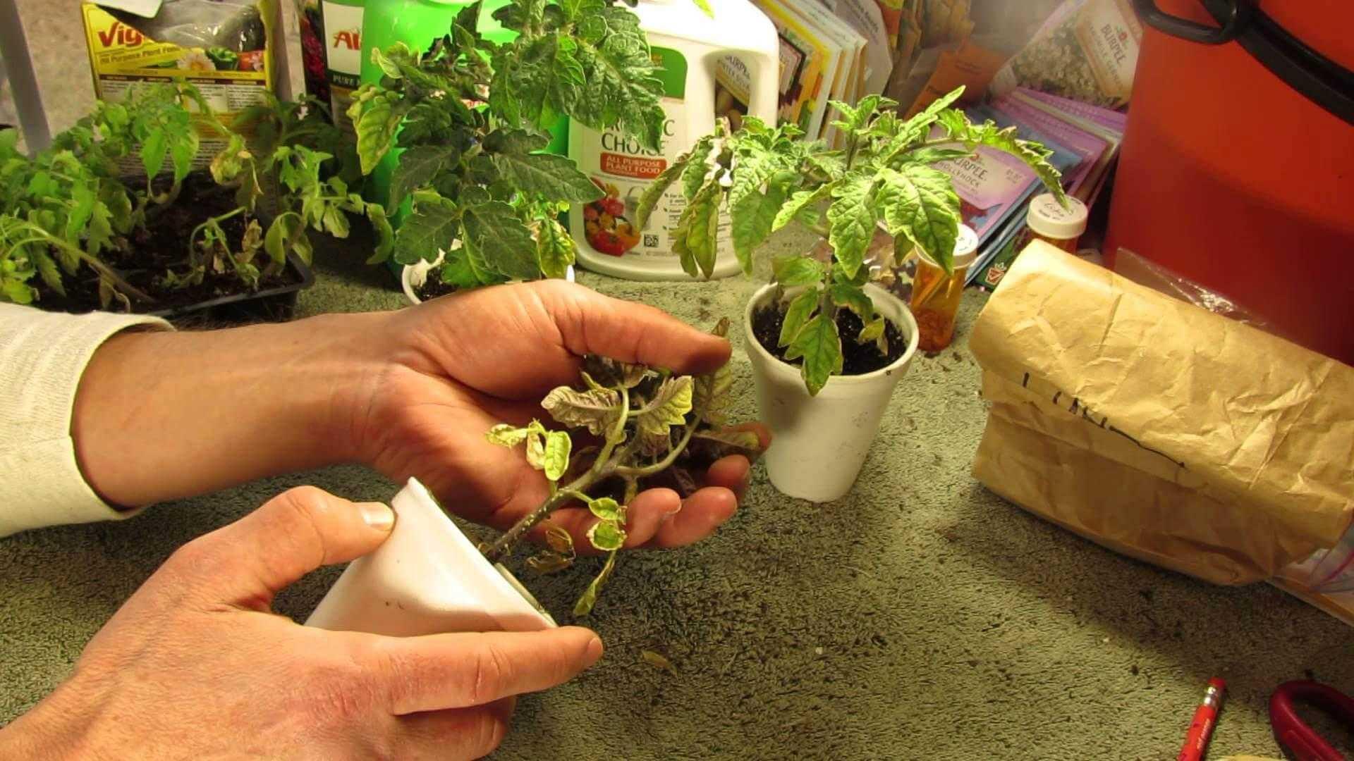 Китайский способ выращивания рассады томатов: что это за метод разведения помидоров, каковы плюсы и минусы технологии, как соблюсти все нюансы от