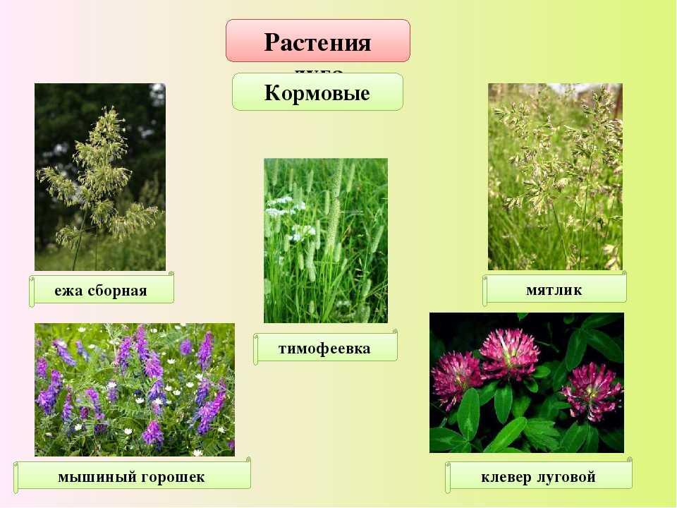 Луговые травы фото с названиями справочник