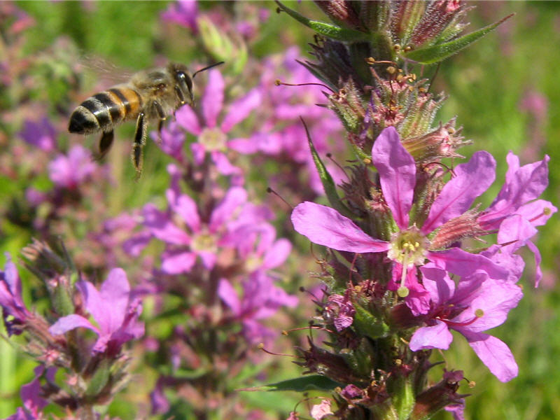 средняя полоса медоносная трава для пчел фото счет