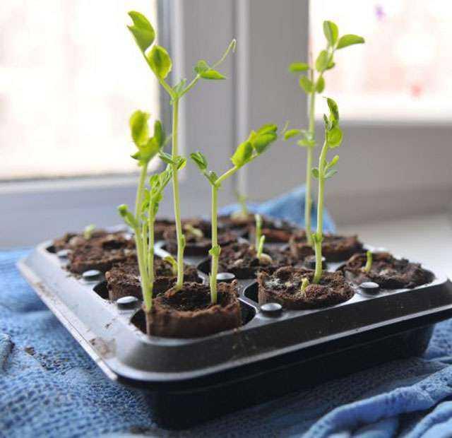 Как вырастить рассаду помидор картинки
