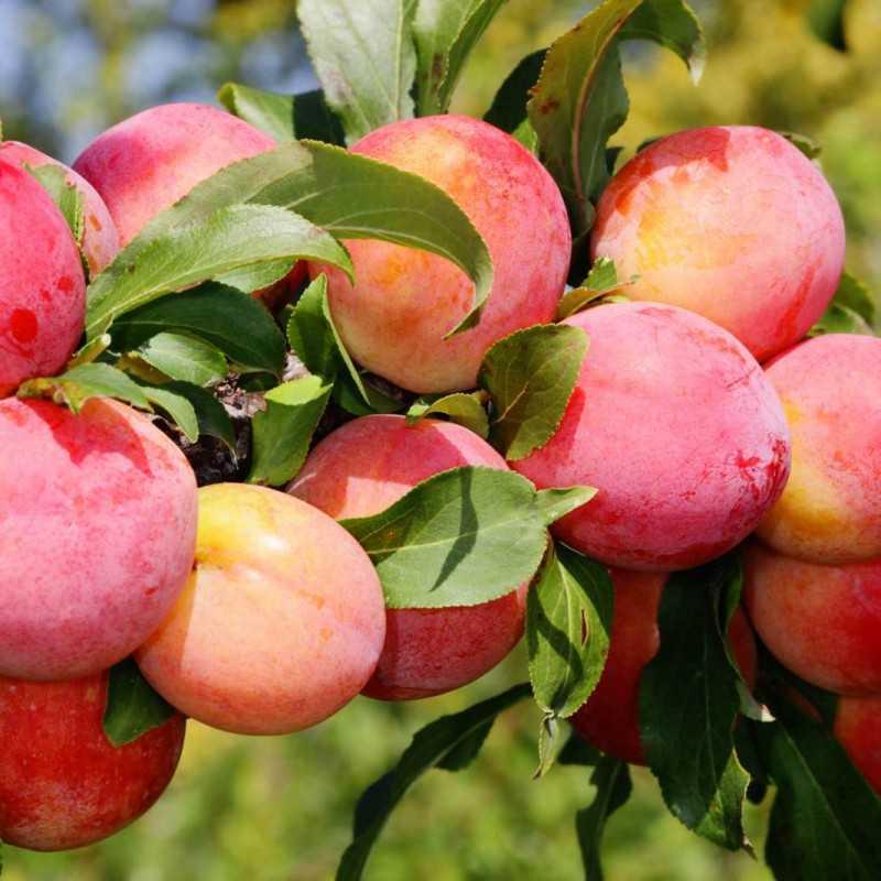 Плодовые деревья и кустарники для подмосковья сорта описание и фото