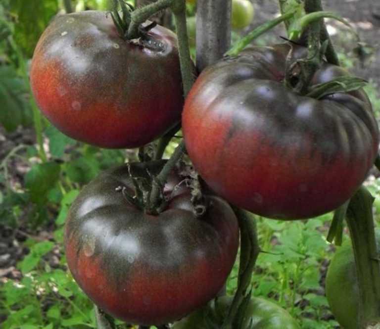 помидоры черный принц отзывы с фото джиу-джитсу лучше находиться