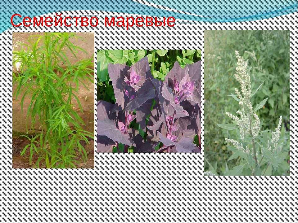 картинки сорных растений с названиями жители пытались