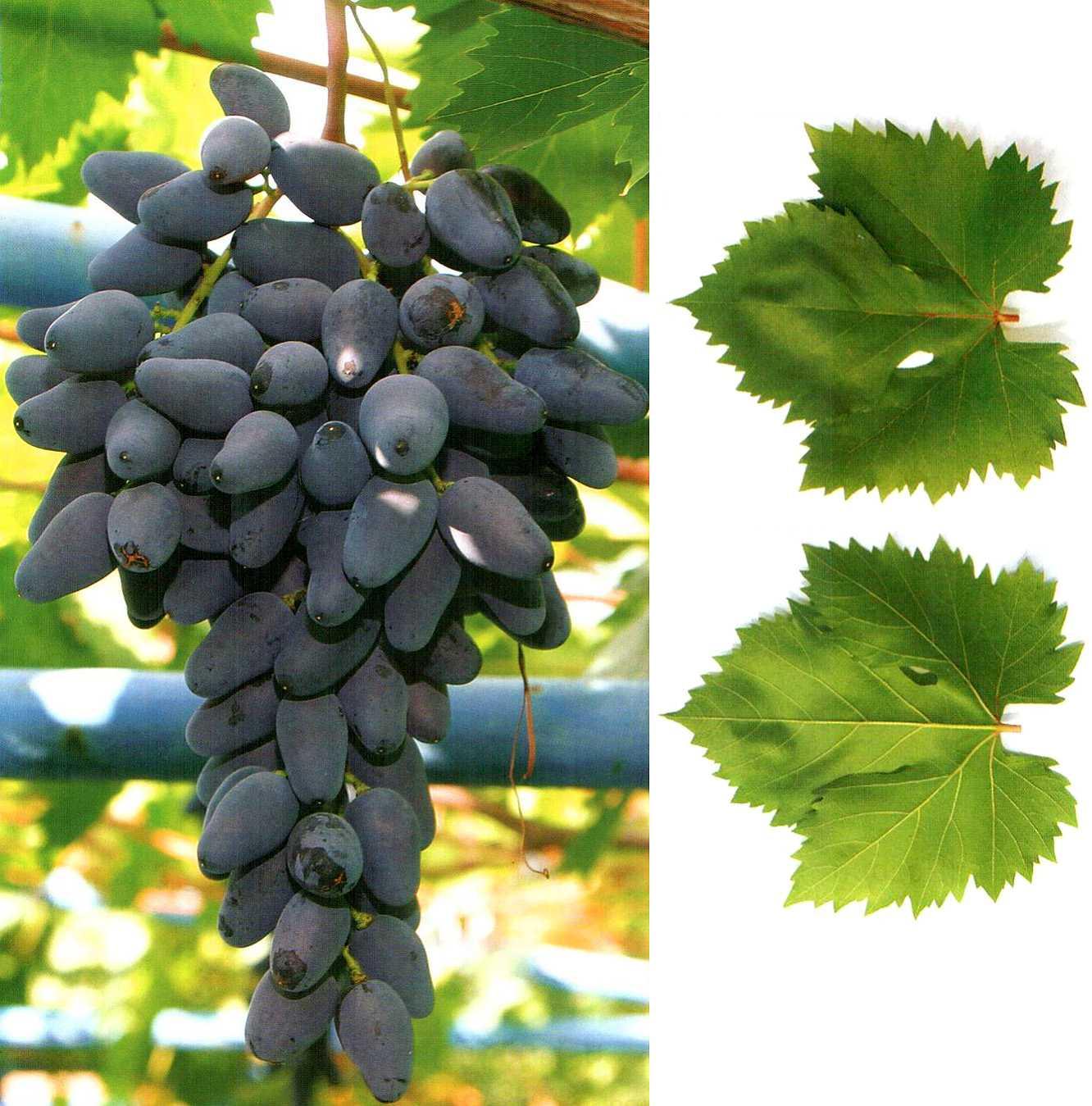 вещь фото коронки винограда памяти негруля что