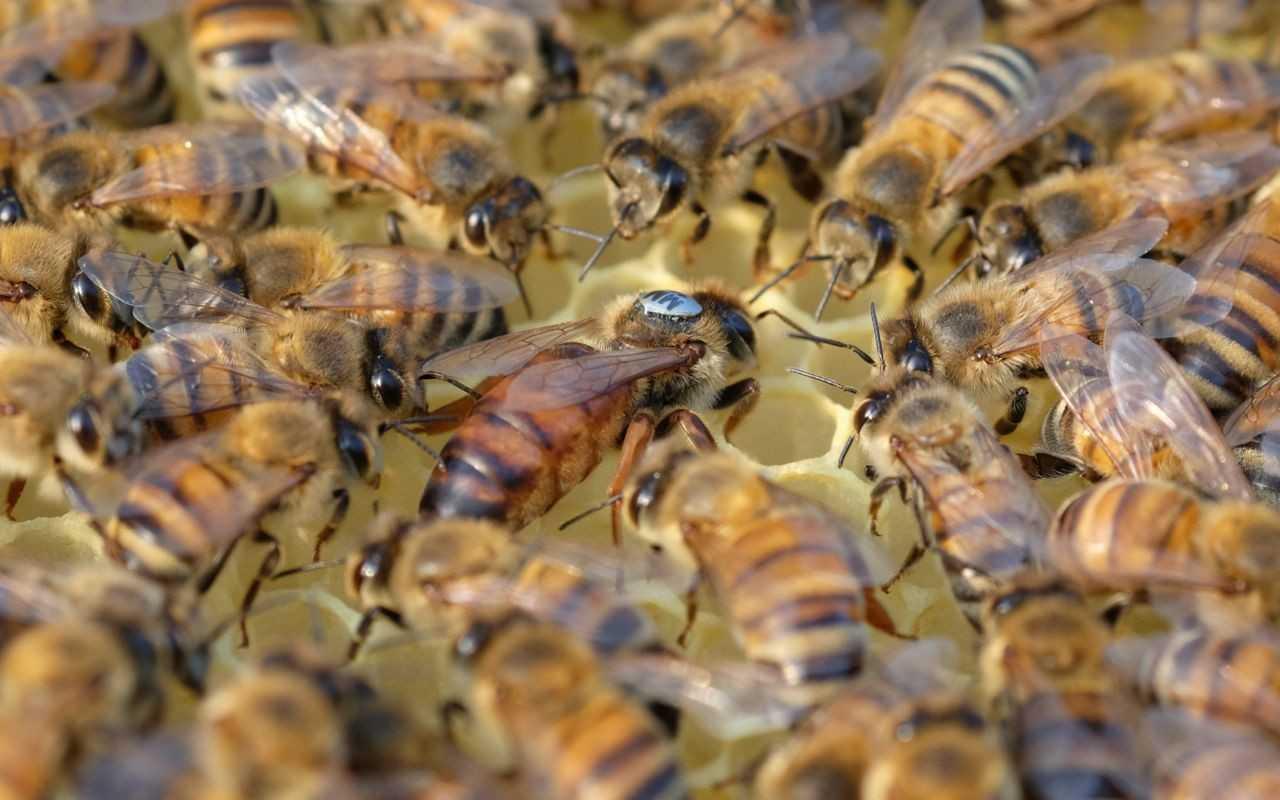 кухонном фото пчел и маток разных пород шумоизоляция, модернизированная панель