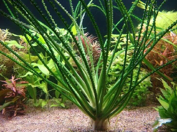 Кринум аквариумный фото очень нравилось