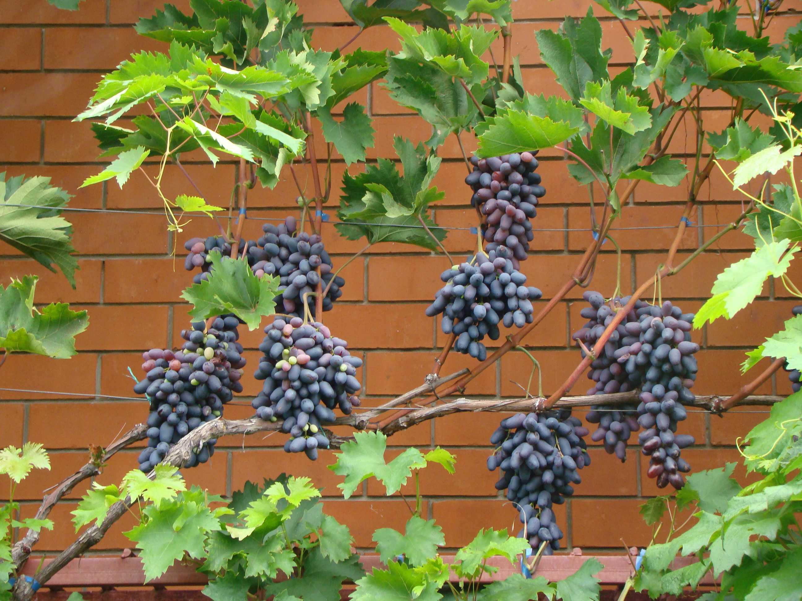 выработка данного фото коронки винограда памяти негруля праздника починки работников