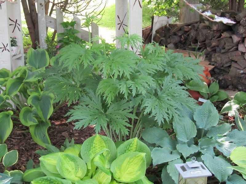 Тенелюбивые овощные культуры и теневыносливые растения для огорода