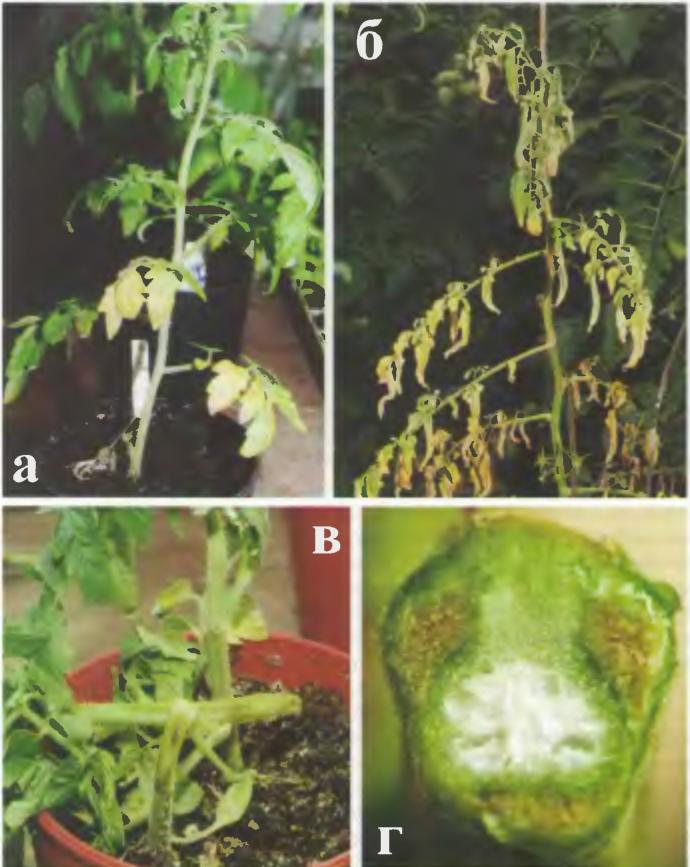 Фузариозное увядание рассады томатов фото