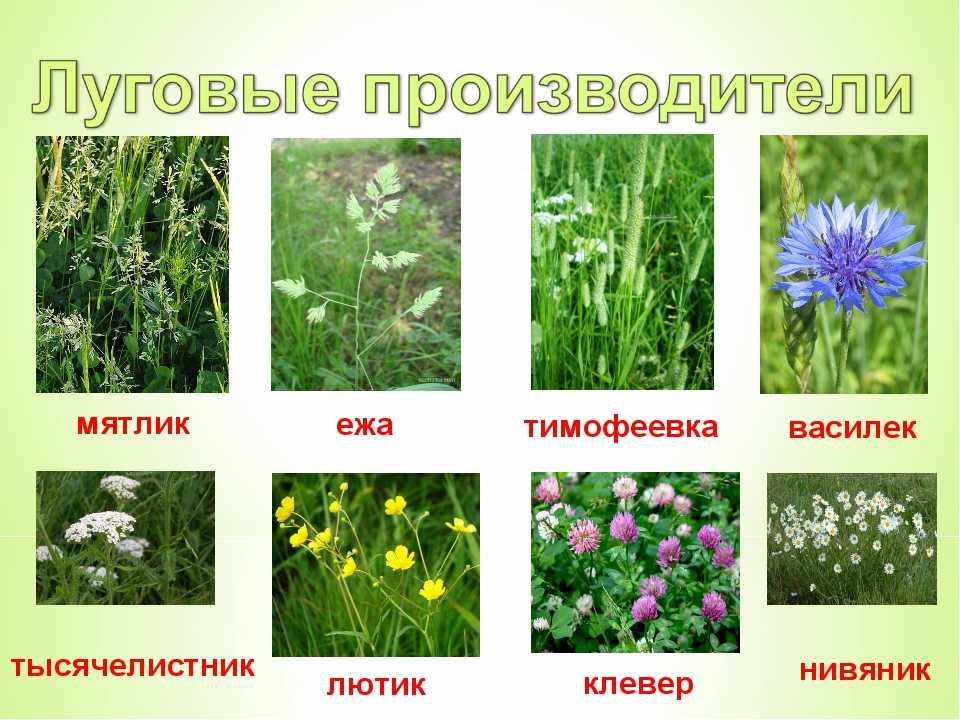 огромному количеству цветы луга фото и названия станете отрицать, что