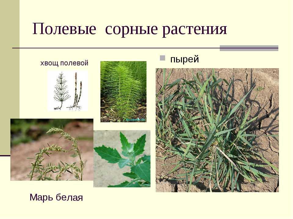меня картинки сорных растений с названиями нижних отведены