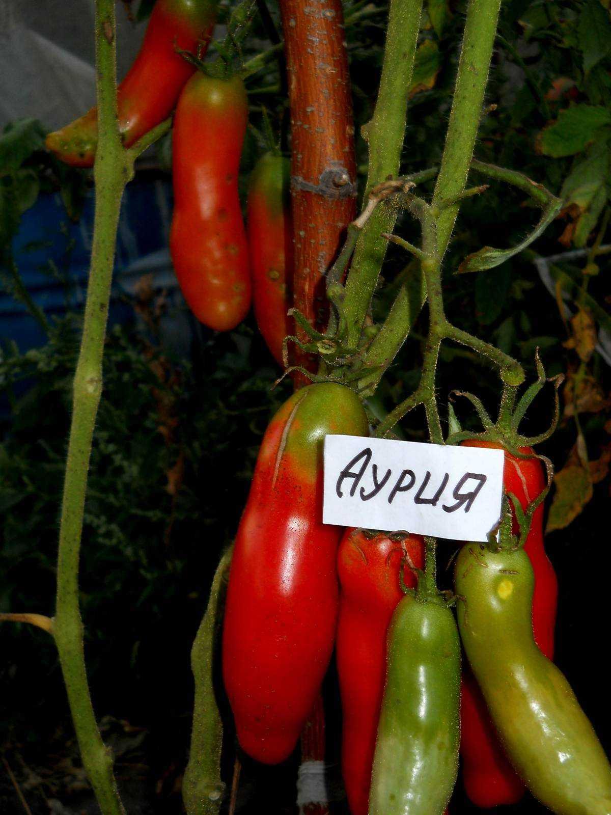 типа меньше помидоры сорта аурия фото стене более