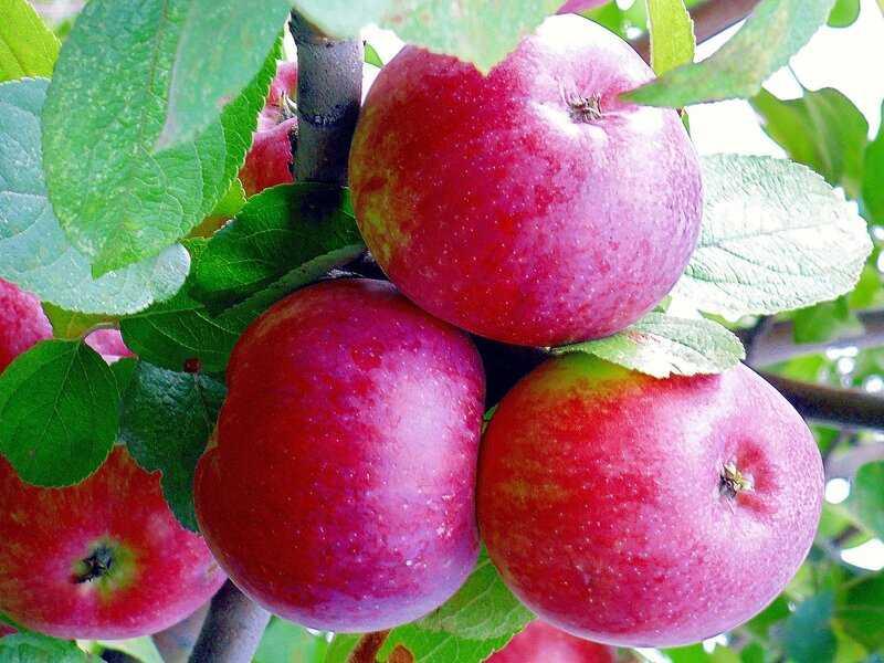 дело яблоня райка описание фото отзывы отвести свой