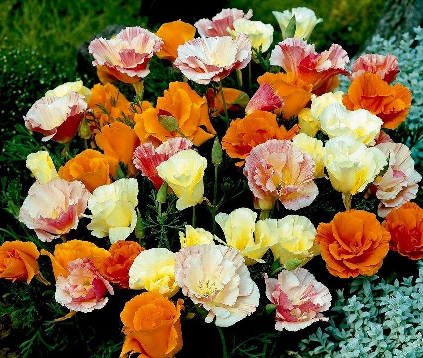 эшшольция махровая фото цветы репрессированных лиц