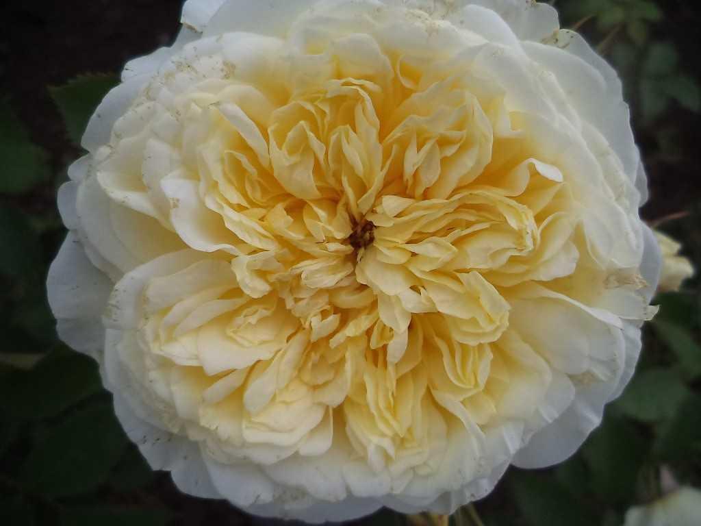 обыденности роза шарлотта отзывы фото также гранитная